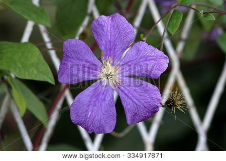 Single Clematis Or Leather Flower Easy Care Perennial Vine Plant Open Blooming Purple Flower With Le