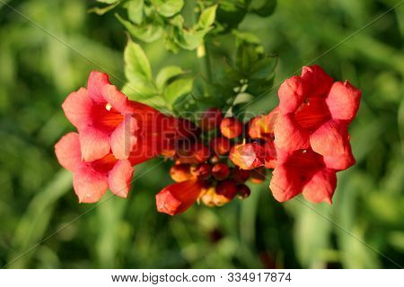 Single Branch Of Trumpet Vine Or Campsis Radicans Or Trumpet Creeper Or Cow Itch Vine Or Hummingbird