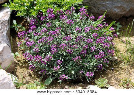 Sweet Alyssum Or Lobularia Maritima Or Alyssum Maritimum Or Sweet Alison Or Alyssum Low Growing Annu