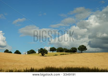Cornfield With Trees And Moody Sky