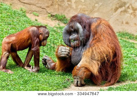 Two Beautiful Specimen Of Orangutan Of Borneo, Pongo Pygmaeus