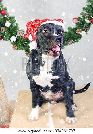 Staffordshire Terrier Dog Poses With A Red Santa Hat On A Gray Background With Snow Effect