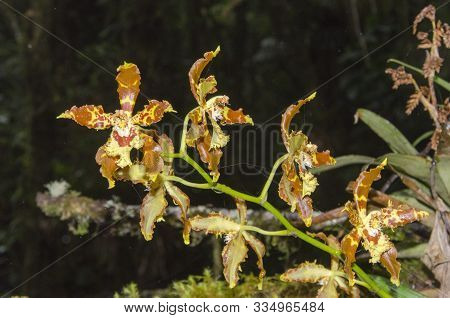 Tiger Orchid, A Beautiful Tropical Flower, In A Natural Environment, In The Cocora Valley, In Quindí