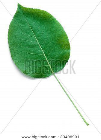 A Leaf Of A Pear Tree