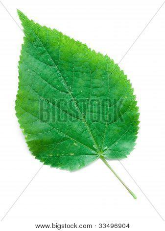 A Leaf Of A Linden Tree