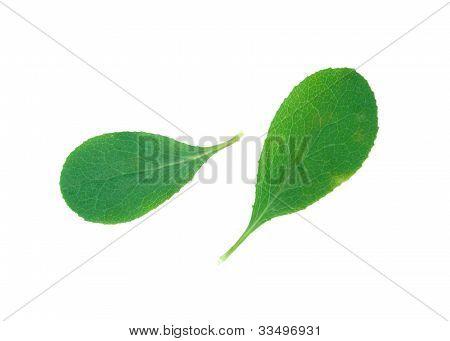 A Leaf Of A Barberry Bush