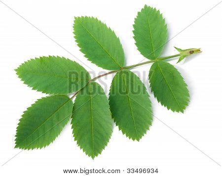 A Leaf Of A Dog Rose