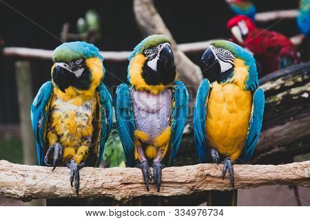 Macaw Parrots On Branches, Blue Yellow Colorful Parrots