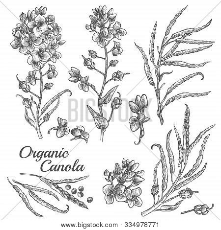 Canola Flowers, Organic Mustard, Pod With Seeds And Leaves. Vector Engraved Botanical Illustration O