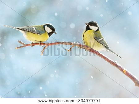Two Great Tits On A Branch On A Sunny Winter Snowy Day. Birds In Winter Are Sitting On A Branch. New