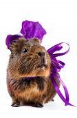 Guinea pig with a violet bow and a flower on a white background poster