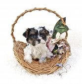 Yorkie puppy sitting in a basket with flowers on a white background. poster
