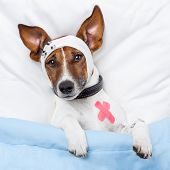 Sick Dog With Bandages Lying On Bed poster