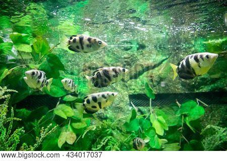 Archer Fish In Aquarium Close Up Background