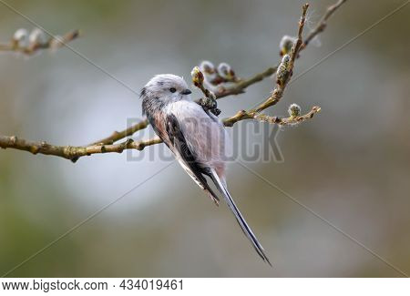 Long-tailed Tit (aegithalos Caudatus) Exams Flowering Willow Branches In Early Spring Season In Sear