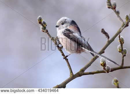 Long-tailed Tit (aegithalos Caudatus) Perched On Flowering Willow Bush Branch In Early Spring Season