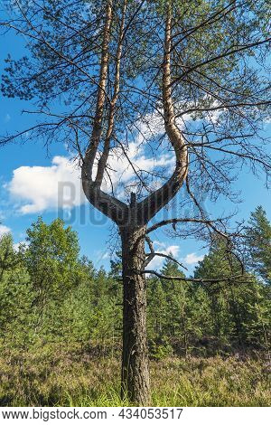 Pine With A Forked Trunk On A Sunny Summer Day . Leningrad Region.