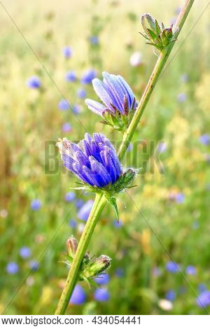 Chicory Bud. Bright Blue Field Flower On A Stalk On A Blurry Background