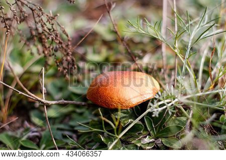 Defocus Close-up Mushroom, Suillus Luteus, Among Dry Grass And Leaves. Suillus Luteos Mushroom Growi