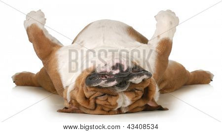 dog sleeping upside down isolated on white background - english bulldog