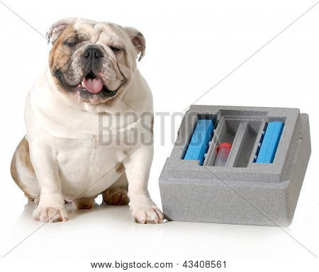 dog breeding - english bulldog sitting beside container for shipping chilled semen isolated on white background