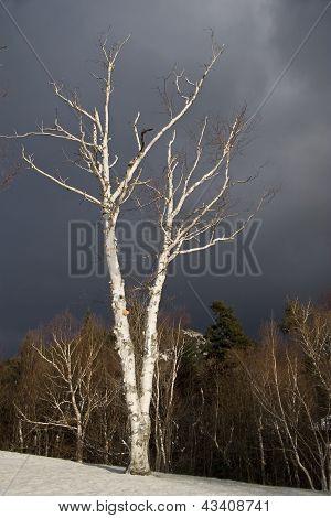 Birch Tree In Sun Against Stormy Sky