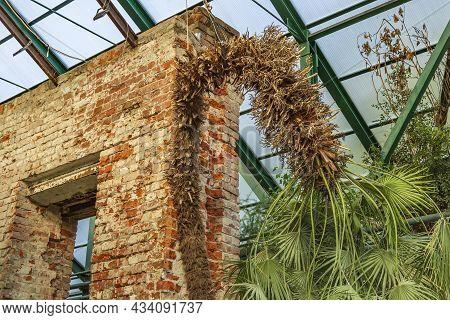 Chamaerops Humilis. Monotypic Genus Of Fan Palms