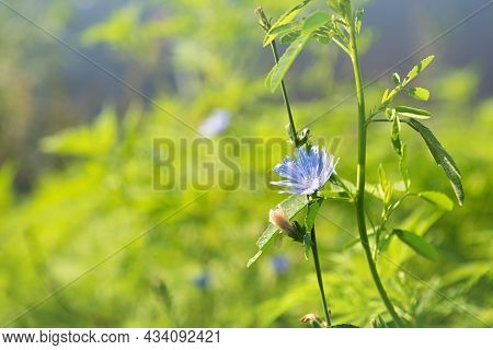 Chicory Plant With Blue Flower And Morning Dew On Leaves In Its Natural Habitat. This Wildflower Is