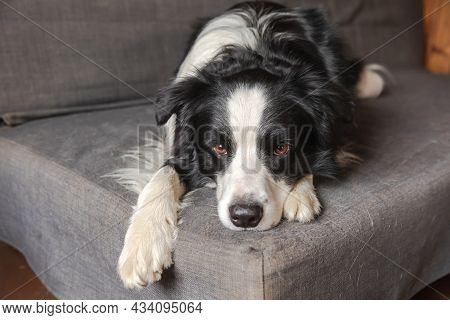 Funny Cute Puppy Dog Border Collie Lying Down On Couch At Home Indoors. Pet Dog Resting Ready To Sle