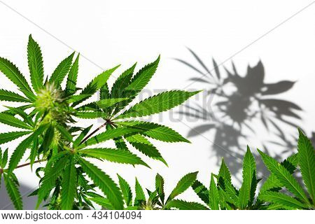 A Cannabis Bush In Bright Light With A White Background With A Shadow. Medicinal Marijuana Leaves Of