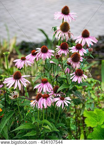 Purple Perennial Conical Echinacea Flowers In The Garden