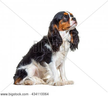 Tri-color Cavalier King Charles dog looking up, sitting in front of white background