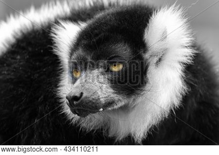 Closeup of an adult black and white ruffed lemur, varecia variegata. This critically endangered species is indigenous to the rainsforsts of Madagascar.