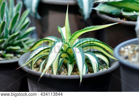 Agave ,succulent Or Cactus Plant Or Agave Americana Var Or Marginata