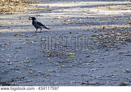 View With A Crow Bird Walking On A Meadow With A Walnut In Its Beak During Autumn, Sofia, Bulgaria
