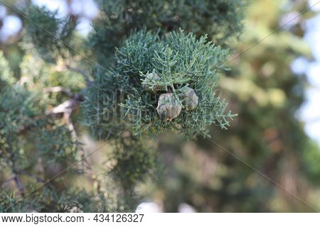 Cypress Tree Branch With Cones On A Highly Blurred Background, Greece, Halkidiki