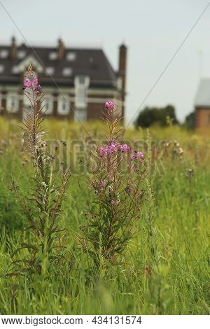 Flowering Perennial Willowherb On A Glade In The Field. Chamerion Latifolium. High Quality Photo