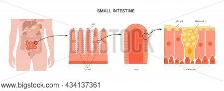Small Intestine Anatomical Poster. Surface Area Of Intestinal Walls. Intestinal Villi, Cross Section