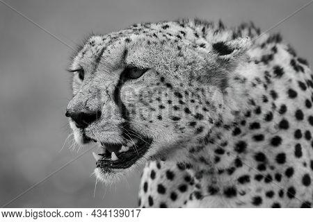 Mono Close-up Of Cheetah Head On Grassland