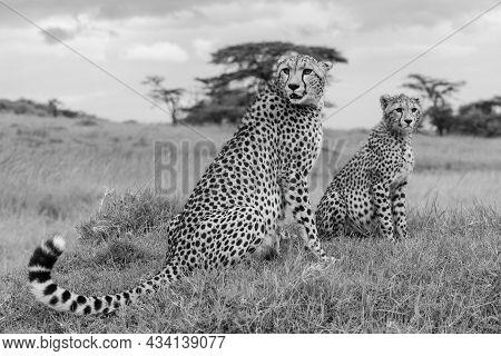 Mono Cheetah And Cub Sit On Mound
