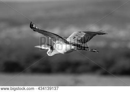 Mono Black-headed Heron Crosses Savannah In Sunshine