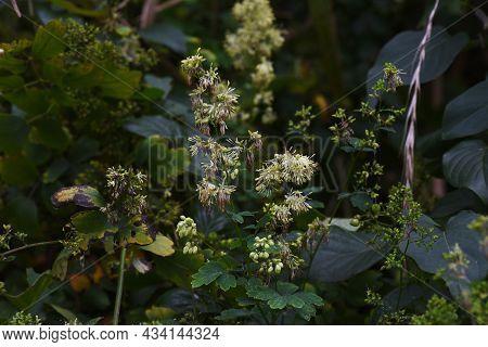 Thalictrum Minus Flowers. Ranunculaceae Perennial Medicinal Herb. Flowering Is From July To Septembe