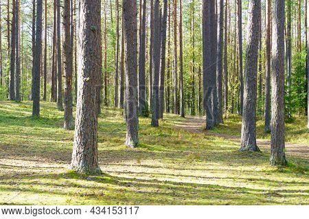 Pine Tree Forest In Sweden In Summer Sunlight. Idyllic Autumn Scene.
