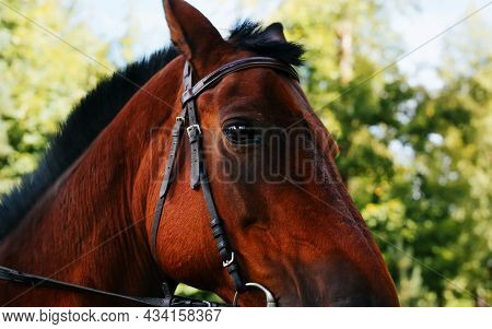 Brown Horse Looking At Camera Outdoors, Close-up Portrait In Profile. Stallion In Harness, Animal Th