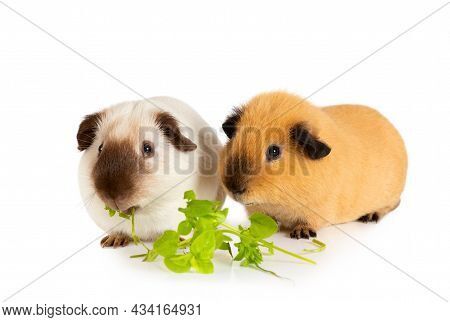 Lunch Time. Two Cute Guinea Pigs Eating Juicy Greens Isolated On A White Background