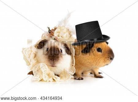 Cute Couple Of Guinea Pigs In Clothes Isolated On A White Background