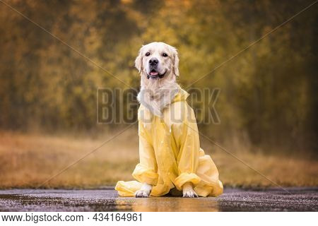A Cute Dog Is Sitting In A Yellow Raincoat In An Autumn Park. A Golden Retriever On The Street In Th