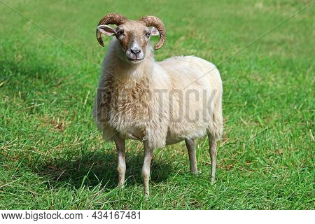 White Aries Or Ram In The Grass On Meadow Looking In Camera