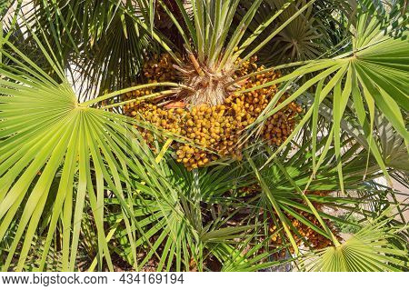 Fruit Of Chamaerops Humilis ( European Fan Palm Or The Mediterranean Dwarf Palm ) On Sunny Autumn Da