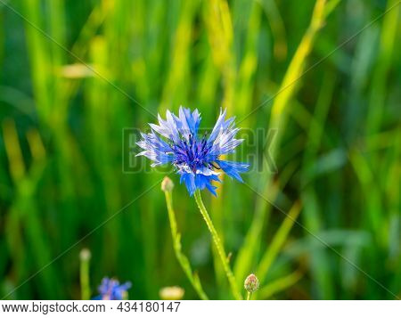 Close-up Of A Blue Field Flower On A Field At Sunset